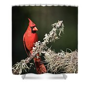 Northern Cardinal In Repose Shower Curtain