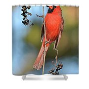 Northern Cardinal With Berry Shower Curtain