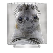 Northern Elephant Seal Looking Back Shower Curtain
