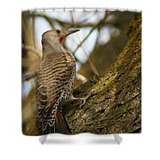 Northern Flicker Woodpecker 1 Shower Curtain