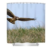 Northern Harrier Hawk Scouring The Field Shower Curtain