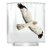 Northern Harrier Hawk, Yukon Shower Curtain