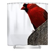 Northern Red Cardinal Shower Curtain