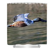 Northern Shoveler On The Wing Shower Curtain