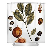 Nutmeg, 1735 Shower Curtain