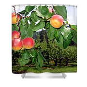 Okanagan Apricots Shower Curtain