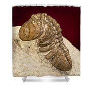 Oklahoma Trilobite. Shower Curtain
