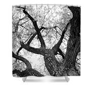 Old Cottonwood Tree Shower Curtain
