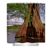 Old Cypress Trunk Shower Curtain