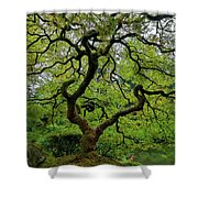 Old Japanese Maple Tree Shower Curtain