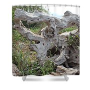 Old Stump At Gold Beach Oregon 1 Shower Curtain