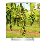 Old York Winery Grapes Shower Curtain