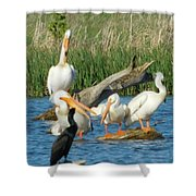 One Sassy Pelican And Friends, West Central Minnesota Shower Curtain