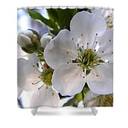 Opening Act -  Cherry Blossoms Shower Curtain