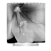 Orange Amaryllis Hippeastrum Bloom 12-29-10 Bw Shower Curtain