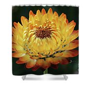 Orange And Yellow Strawflower Shower Curtain