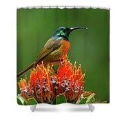 Orange-breasted Sunbird On Protea Blossom Shower Curtain