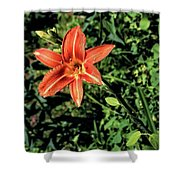 Orange Day Lily 1 Shower Curtain