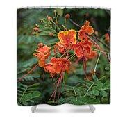 Orange Poinciana Tree Shower Curtain