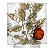Orange Tree, 1735 Shower Curtain