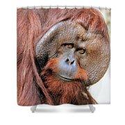 Orangutan Male Closeup Shower Curtain