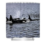 Orcas, The Killer Whales Shower Curtain