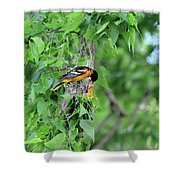 Orchard Oriole Feeding The Kids Shower Curtain