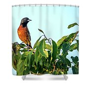 Orchard Oriole Songbird Perched On A Bush Shower Curtain