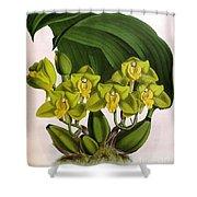 Orchid, Bifrenaria Aurantiaca, 1891 Shower Curtain