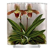 Orchid, C. Ashburtonioe Superbum, 1891 Shower Curtain