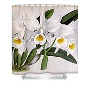 Orchid, C. Eldorado Virginalis, 1891 Shower Curtain