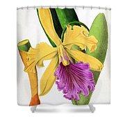 Orchid, Cattleya Dowiana, 1880 Shower Curtain
