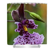 Orchid - Caucaea Rhodosticta Shower Curtain