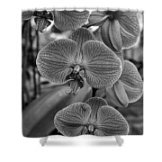 Orchid Glory Black And White Shower Curtain
