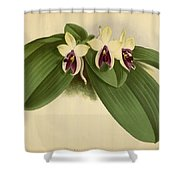 Orchid Phalaenopsis Violacea Singapore  Shower Curtain