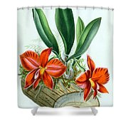 Orchid, Sophronitis Grandiflora, 1880 Shower Curtain