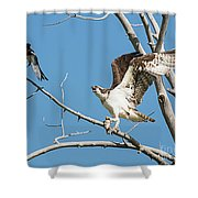 Osprey And Black Billed Magpie Shower Curtain