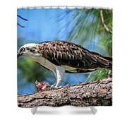 Osprey Breakfast Break Shower Curtain