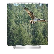 Osprey In Flight 6 Shower Curtain
