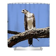 Osprey In The Trees Shower Curtain