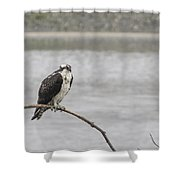 Osprey Looking Over The Rogue River Shower Curtain