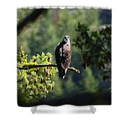 Osprey On Branch Shower Curtain