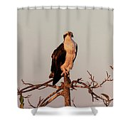Osprey On The Caloosahatchee River In Florida Shower Curtain