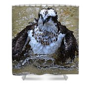 Osprey Splashing In Water Shower Curtain