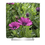 Osteospermum Flowers Shower Curtain