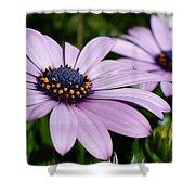 Osteospermum 'margarita Lilac' Shower Curtain