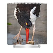 Oystercatcher Eating Clam Shower Curtain