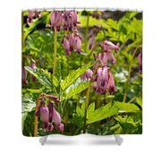 Pacific Bleeding Heart 2  Shower Curtain