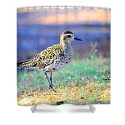 Pacific Golden Plover - 2 Shower Curtain
