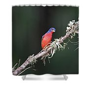 Painted Bunting Curiosity Shower Curtain